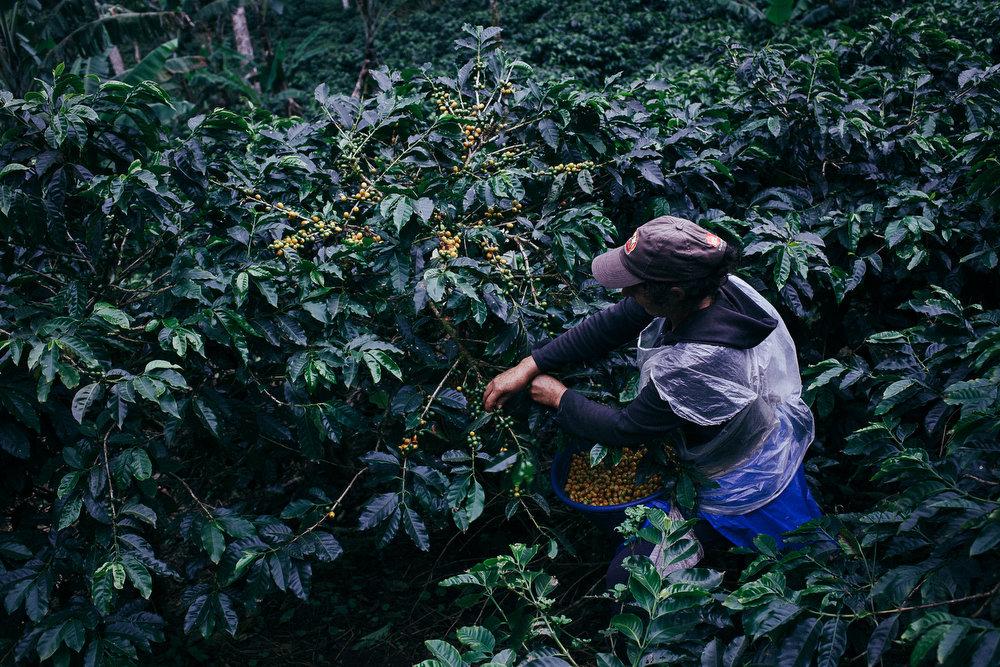 RŽcolte du cafŽ dans la rŽserve naturelle El Jaguar, au Nicaragua.