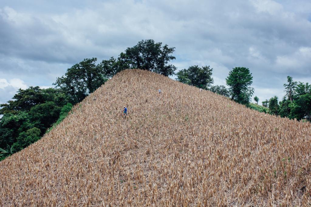 A Olapa, villag pres de Chiquimula, Guatemala, un champ de mais extremement pentu. Doroteo Guzman, employe du proprietaire, seme des haricots rouges entre les epis de mais qui sechent sur pied.